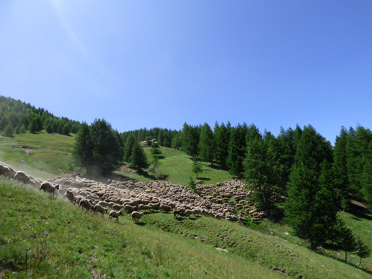 pastoralisme-troupeau