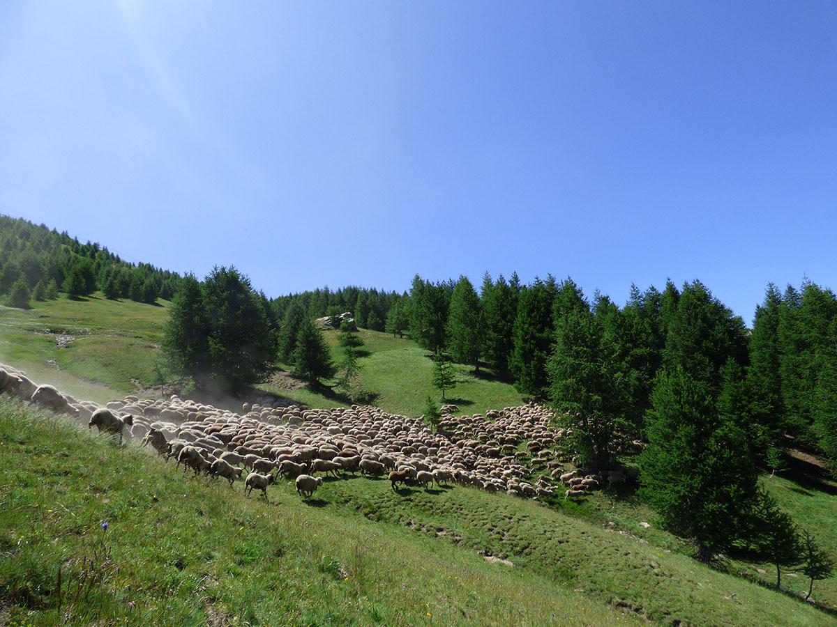 pastoralisme-troupeau - © B Courbon